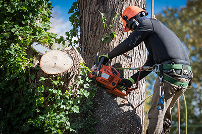 Tree service in Ocean County being performed-removing a large limb by climber with a chainsaw